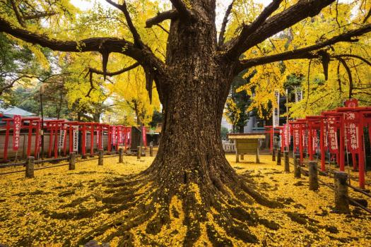 japan-tree